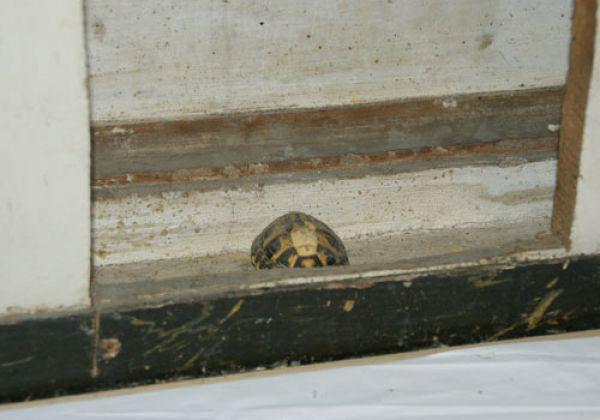 La tartaruga del Barcelli